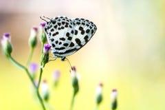 Motyl na trawa kwiacie (Pospolity pierrot) Fotografia Royalty Free