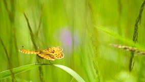 Motyl na trawie zbiory