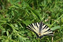 Motyl na trawie Fotografia Stock