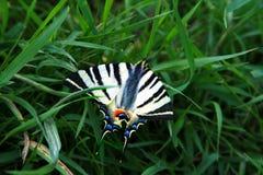 Motyl na trawie Fotografia Royalty Free