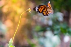 Motyl Na trawy polu Z Ciepłym światłem Fotografia Stock