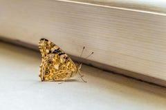 Motyl na windowsill Obrazy Royalty Free