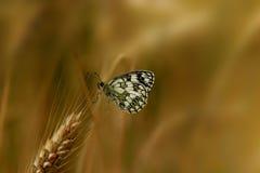 Motyl na zbożach Zdjęcie Royalty Free