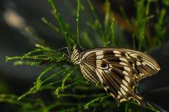 Motyl na zielonej roślinie Obrazy Royalty Free