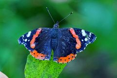 Motyl na zielonym liścia letnim dniu Zdjęcia Royalty Free