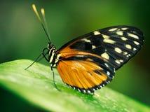Motyl na zielonym liściu Zdjęcia Royalty Free