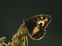 Motyl na zielonym tle obraz stock
