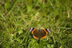 Motyl na zielonym tle Motyli Czerwony Admiral na zielonej trawie zdjęcia stock