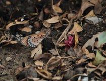 Motyl Na ziemi Obraz Royalty Free