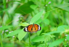 Motyl nad kwiatem Obrazy Royalty Free