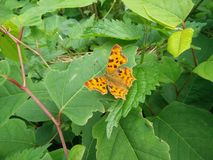 Motyl od Europe Zdjęcia Stock