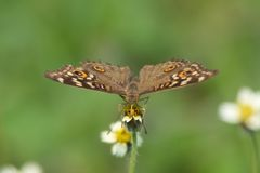 Motyl od przodu Fotografia Stock