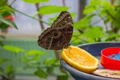motyl ogrodowy s południowy Thailand Zdjęcia Stock
