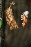 Motyl Oprzędza obwieszenie na gałązce Zdjęcie Royalty Free