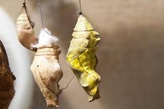 Motyl Oprzędza obwieszenie na gałązce Zdjęcie Stock