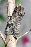 Motyl paśnika świder Zdjęcie Stock