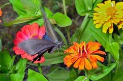 Motyl (Papilio maackii) 9 Fotografia Royalty Free