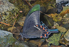 Motyl (Papilio maackii) 15 Zdjęcie Stock