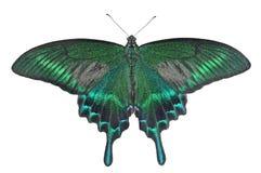 Motyl (Papilio maackii) 28 Zdjęcia Stock