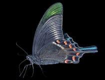 Motyl (Papilio maackii) 23 Obrazy Royalty Free