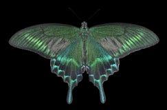 Motyl (Papilio maackii) 27 Zdjęcia Stock