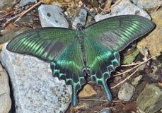 Motyl (Papilio maackii) 37 Fotografia Stock