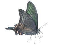 Motyl & x28; Papilio maackii& x29; 28 obraz royalty free
