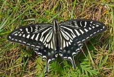 Motyl (Papilio xuthus) 22 obraz stock