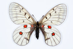 Motyl, Parnassius bremeri, odizolowywający na bielu Obrazy Stock