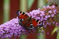 Motyl - pawi motyl - Inachis io - siedzi na motylim bzie w fron motyliego bzu obrazy royalty free