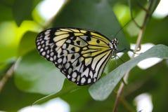 motyl piękna zieleń Obraz Royalty Free