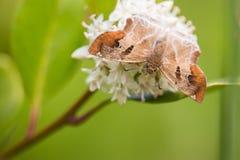 Motyl pije na białym kwiacie Zdjęcia Royalty Free