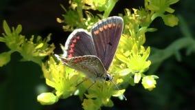 motyl pije nektar