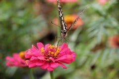 Motyl pije pollen Zielonego tło Zdjęcia Royalty Free