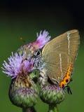 Motyl Pisze list Modraszka. macro fotografia stock