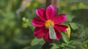 Motyl polinating kwiatu Inny motyl próbuje siedzieć na ten sam kwiacie zbiory