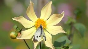 Motyl polinating kwiatu Inny motyl próbuje siedzieć na ten sam kwiacie zbiory wideo