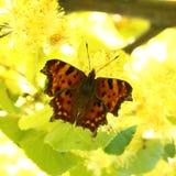 Motyl (Polygonia album) Zdjęcie Royalty Free