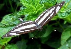 Motyl - Pospolity żeglarz Obrazy Royalty Free