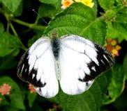 Motyl - Pospolity frajer Zdjęcie Royalty Free