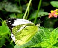 Motyl - Pospolity frajer Obraz Stock