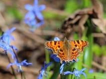Motyl - przecinku Polygonia albumu karmienie na wiosna kwiatach Obrazy Stock
