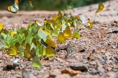 Motyl przy Kaeng Krachan parkiem narodowym obrazy royalty free