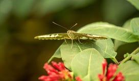 Motyl przy odpoczynkiem Zdjęcia Stock