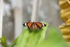Motyl przygotowywa latać Zdjęcia Stock