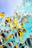 Motyl ryba Zdjęcia Stock
