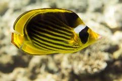 Motyl ryba Zdjęcie Stock