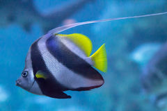 Motyl ryba Obraz Stock