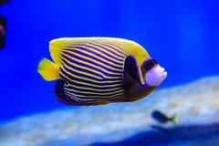 Motyl ryba pływa w błękitne wody na koralowym tle obrazy stock