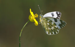 Motyl, Satyridae, Melike, Melanargia galathea Obrazy Stock